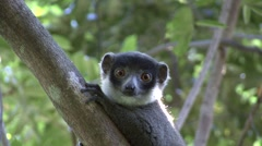 Mongoose Lemur looking around in tree 3 Stock Footage