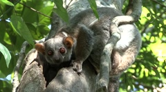 Milne's Edwards's Sportive Lemur outside nesting hole during the day Stock Footage
