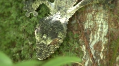Mossy leaf-tailed gecko camouflaged on tree trunk during day 2 Stock Footage