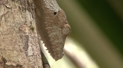 Mossy leaf-tailed gecko lift his head from tree trunk during the day 2 Stock Footage