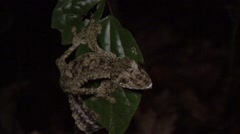 Mossy leaf-tailed gecko on leaf at night Stock Footage