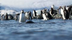 Gentoo penguins in the water Stock Footage