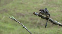 Panther Chameleon catching grasshopper Stock Footage