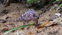 Panther chameleon female covering up egg-laying hole with sand 14 Stock Footage