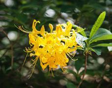 Closeup of yellow lily flower (lilium lancifolium) - stock photo