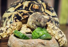 Leopard tortoise (Geochelone pardalis) eating cucumber - stock photo