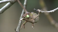 Panther Chameleon hanging in tree with pray in mouth Stock Footage