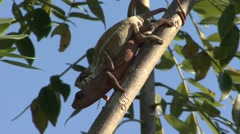 Panther Chameleon mating high up in trees 10 Stock Footage