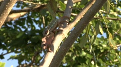 Panther Chameleon mating high up in trees 3 Stock Footage