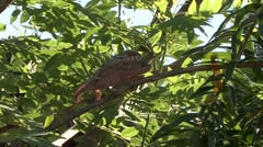 Panther Chameleon mating high up in trees 6 Stock Footage