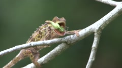 Panther Chameleon shewing on insect 2 Stock Footage