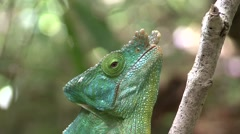 Parson's Chameleon male chewing Stock Footage