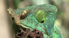 Parson's Chameleon male close up of head Stock Footage