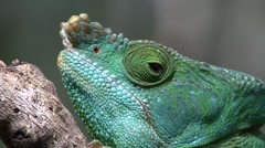 Parson's Chameleon male close up of head 2 Stock Footage