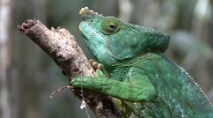 Parson's Chameleon male close up of head 3 Stock Footage