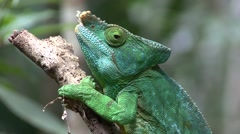 Parson's Chameleon male close up of head 4 Stock Footage