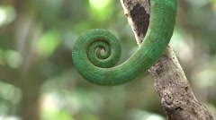Parson's Chameleon male tail Stock Footage