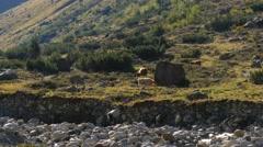 Wild Bullocks in austria alps Stock Footage