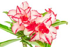 Impala Lily or desert rose or Mock Azalea - stock photo