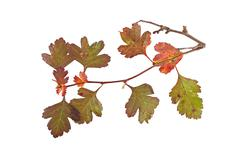Autumn leaves on a white background. - stock photo