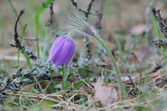 Spring purple wild forest flower pasqueflower close up - stock photo