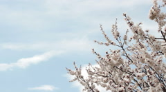 Flowering apricot tree. Stock Footage