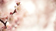 Blossoming apricot tree. - stock footage