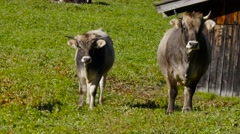 Stock Video Footage of Common Cattle stand on meadow beside shack
