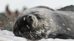 Weddell seal - stock footage