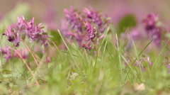 Corydalis. Violet flowers. Dolly shot. Stock Footage