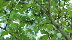 White flowers of hawthorn are trembling in the wind. Stock Footage