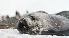Weddell seal Stock Footage