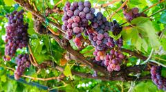 Large bunches of red wine grapes hang from a vine Stock Photos