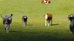 Stock Video Footage of Group Of Simmental Breen Walking Meadow