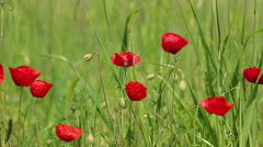 De focused and focused poppies and daisies with green meadows in nature sprin - stock footage