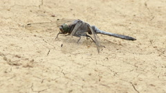 Dragonfly on dry ground. Stock Footage