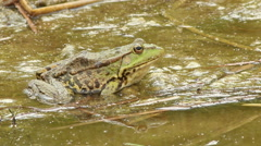 Frog swimming and croaking in pond. - stock footage