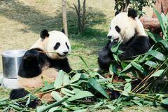 Two pandas eating bamboo Stock Photos