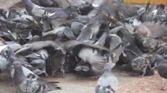 Pigeons feeding frenzy Stock Footage