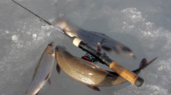 Ice fishing in Norway. Magnificent production of three grayling Stock Footage