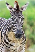 Stock Photo of Zebras gaze grass in the open zoo