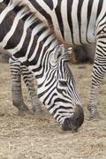 Zebras gaze grass in the open zoo Stock Photos