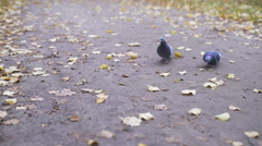 Pigeons in autumn park looking for food Stock Footage