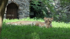 Two lionesses at the zoo. Stock Footage