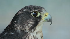 Saker Falcon in a zoo. Stock Footage