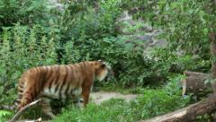 Tiger walks in a zoo. - stock footage