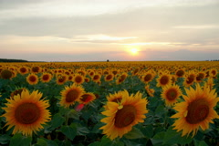 Sunset Time lapse with flowering sunflowers, motorized slider RAW HDR Stock Footage