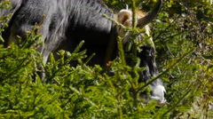 Stock Video Footage of mid shot - Cattle on meadow among trees
