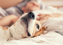 Lazy beagle lying in bed with his sleeping owner Stock Photos