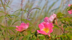 Delicate flowers of wild rose on lush seaside meadow. Middle of summer Stock Footage